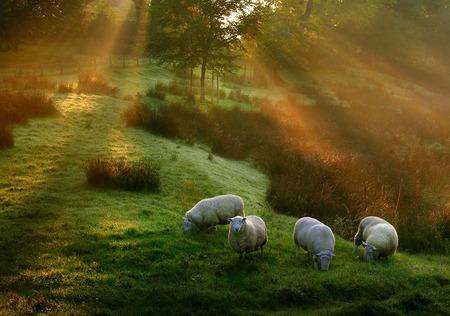 sheep03.jpg